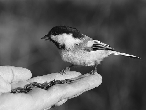 One of Jeff's fondest memories was of one particular Chickadee that would fly to him whenever he walked out of the house.  photo by juicyverve