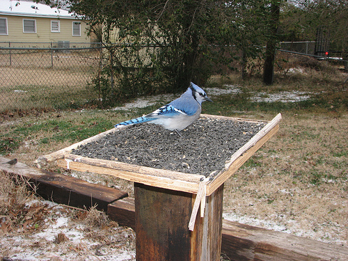 Blue Jays discovered Michael's feeder at once.  photo by the fixer