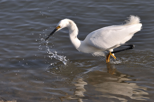 "Barbara's first spark with a Snowy Egret ""lifting its golden-slippered foot.""  photo by donjd2"