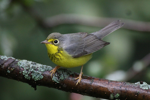 Josh remembers a Canada Warbler as a standout bird on a memorable Plum Island visit.  photo by Jeremy Meyer