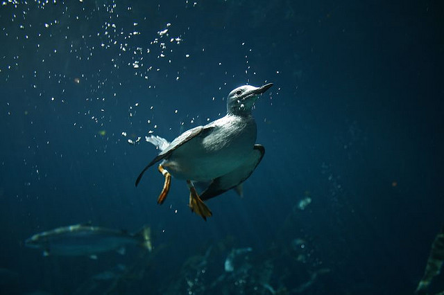 You can't really understand the feeding habits of boobies, cormorants, or penguins until you've dived with them and seen them underwater. Here is a Common Murre at Montreal's Biodome.  photo by christopher.woo
