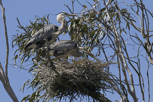 Scott has great memories of a large heron rookery in Phillipston.  photo by mikebaird