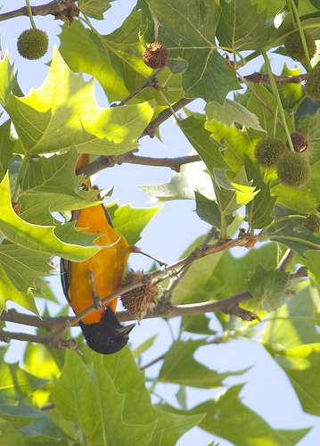 A Baltimore Oriole, seen inverted in a telescope, was Warren's spark.  photo by davedehetre