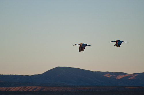 Seeing Sandhill Cranes at the Bosque del Apache National Wildlife Refuge was an early spark for Amy.  photo by jronaldee