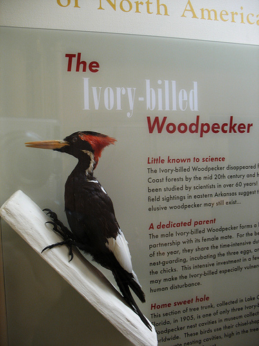 Tim has had a long-time interest in Ivory-billed and Pileated Woodpeckers.  photo by hyperion327