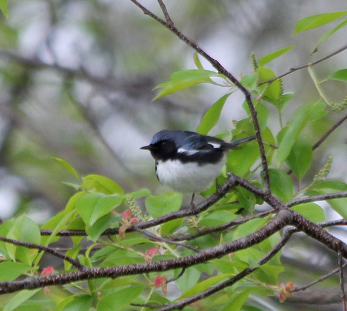 A Black-throated Blue Warbler was one of the first birds Linda identified by herself.  photo by dickmfield