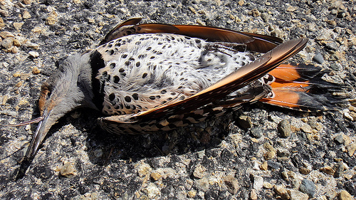 A dead Northern Flicker sparked Mike's interest in birding.  photo by FunGi
