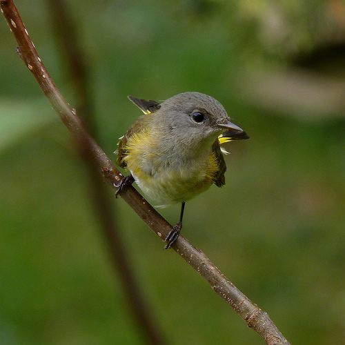 Warblers on Plum Island were Marjorie's spark birds.  photo by Dendroica cerulean