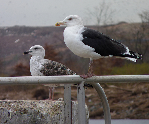 "A ""rare-at-the-time"" Great Black-backed Gull was on of Myer's early spark birds.  photo by Dendroica cerulea"