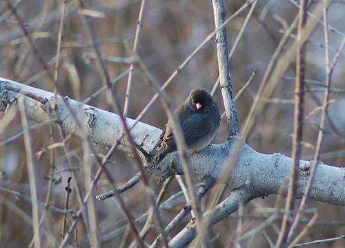Jean loves the first Dark-eyed Junco of the year.  photo by dobak