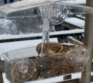 I'm hoping that the Common Redpolls that are overrunning our feeders will stay for another week -- or longer.