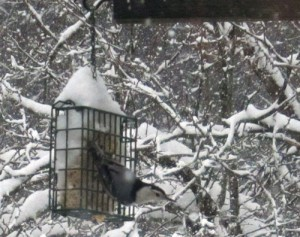 White-breasted Nuthatches, like this one visiting today, are here all winter (along with their red-breasted cousins.