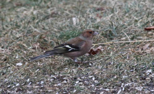 Harry, a chaffinch similar to this one, attracted many birders to Margie's kitchen.