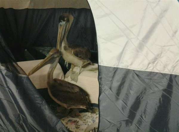 Two pelicans taken care of by the Wildlife Rehabilitators Association of Rhode Island hang out in a camping tent before being flown to Florida. photo by Wildlife Rehabilitators Association of Rhode Island