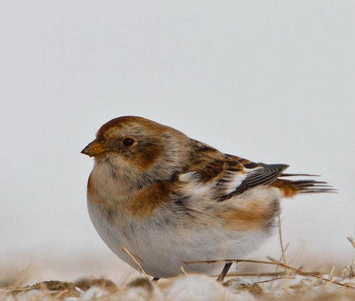 Snow Buntings will be one of the target birds for Central Vermont GBBC birders.  photo by omarrun