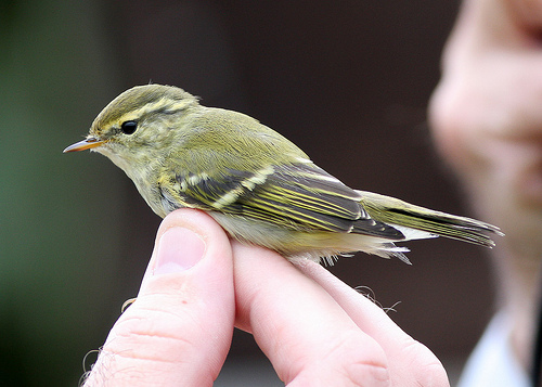 Vagrants are wonderful treasures from far away that we cannot keep and cannot save. photo of yellow-browed warbler by sussexbirder
