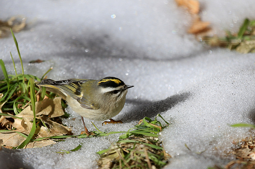 I hear the high-pitched call of the Golden-crowned Kinglet high in the trees but can't spot the little guy/gal.  photo by Seabarium