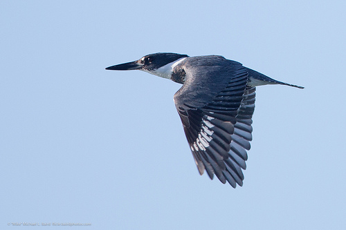 The rattling call of the Belted Kingfisher is unmistakeable.  photo by mikebaird
