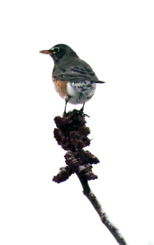 American Robin in light snowfall, on sumac.  Canon PowerShot SX50 HS. 1/1600ƒ/7.1ISO 1250154.8 mm