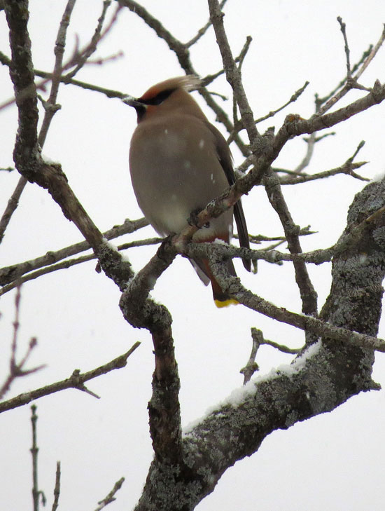 Bohemian Waxwing in light snow.  Canon PowerShot SX50 HS.  Settings: 1/400ƒ/6.5ISO 400215 mm