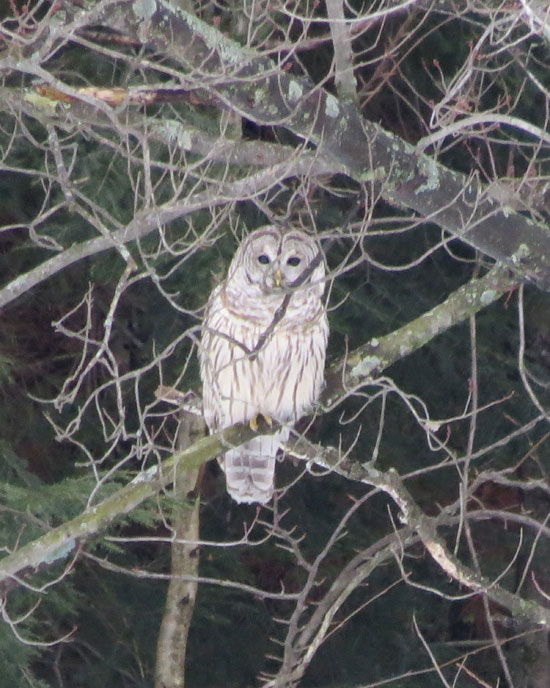A Barred Owl in Moretown, VT. Canon PowerShot SX50 HS. Settings: 1/125ƒ/6.5ISO 800215 mm