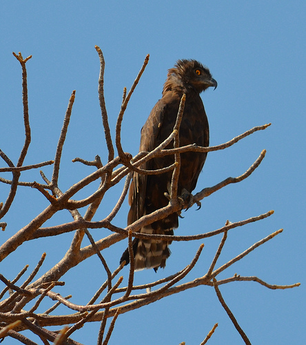 The Brown Snake Eagle was one of the large birds I learned before departure.  photo by dutchman_svh