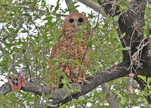 The Pel's Fishing Owl (Scotopelia peli) is a large species of owl in the Strigidae family. It feeds nocturnally on fish and frogs snatched from the surface of lakes and rivers. The species prefers slow moving rivers with large overhanging trees to roost and forage from. It nests in hollows and the forks of large trees.  photo by sussexbirder