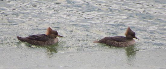 The two female Hooded Mergansers were feeding -- on was wrestling with a small fish as I was getting the camera ready.