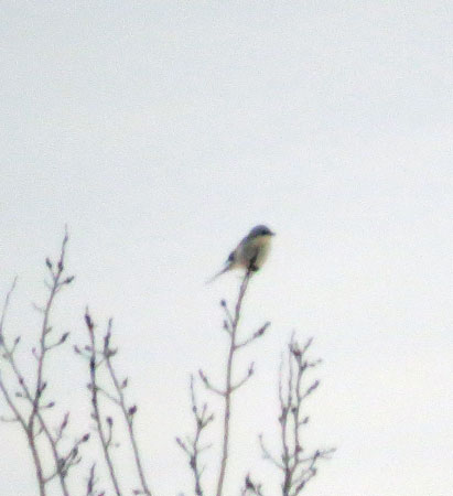Life bird 355.  Hope to see it closer for a better photo.