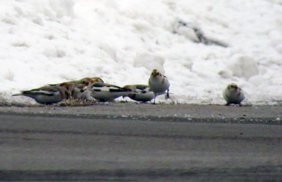Snow Buntings working the edge of a driveway.  County bird #19 for 2013.