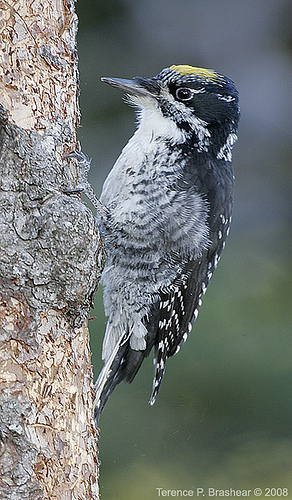 The Northern Three Toed Woodpecker breeds in North America, from northern Alaska, across Canada's boreal regions, through northern Saskatchewan, to north-central Labrador and Newfoundland. In Eurasia, south of tree line in Scandinavia and Siberia. Prefers coniferous forest and burntlands; less frequently mixed forest. Cavity nests generally placed in dead tree, usually conifer or aspen; sometimes nests in utility poles. photo by Superior National Forest