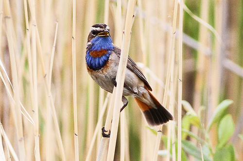Red, white, and a BlueThroat for 4th of July birding. photo by sussexbirder