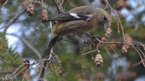 Adult female White-winged Crossbill.  photo by Wildreturn