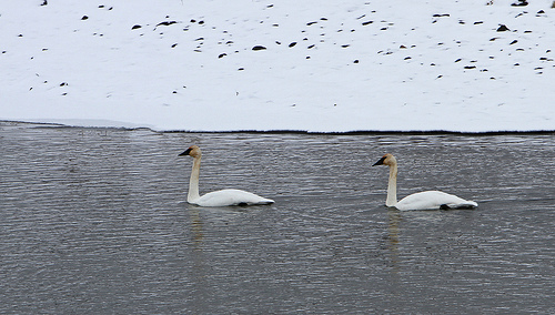 Two Trumpeter Swans provided us an unforgettable ballet memory.  photo by YellowstoneNPS