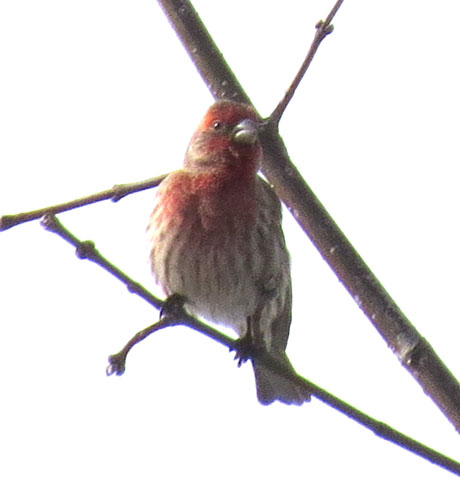 A couple of House Finches serenaded us as we walked to the bakery.  A nice sign of the possibility of springtime.  photo by dickmfield