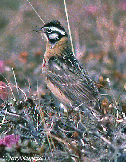 The rarely-seen Smith's Longspur was worth the tough drive and strenuous hike.  photo by jerryoldenettel