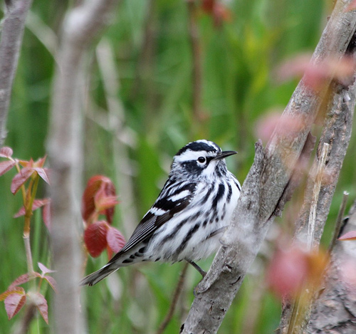 Black & White Warblers can come down to eye level.  photo by dick mansfield