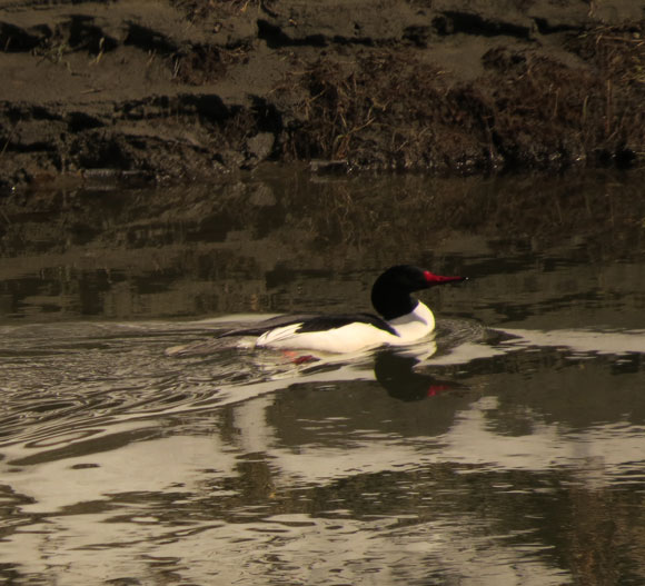 This Common Merganser was one of the quiet birds I saw yesterday.