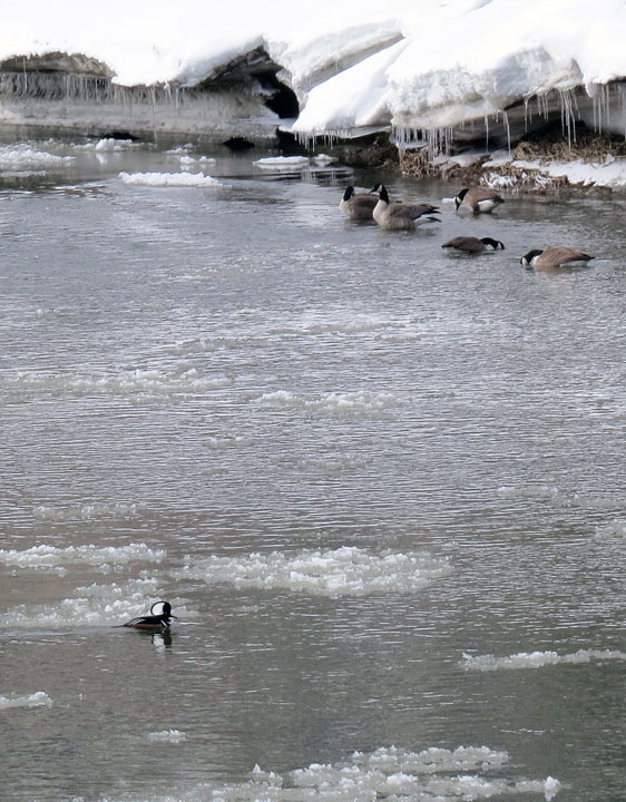 Five geese ignore a male Hoodie paddling through the ice flows on the Winooski River.  photo dickmfield