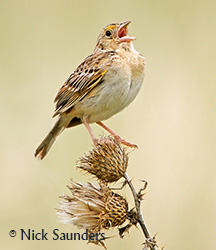 Grasshopper Sparrow Photo: Nick Saunders