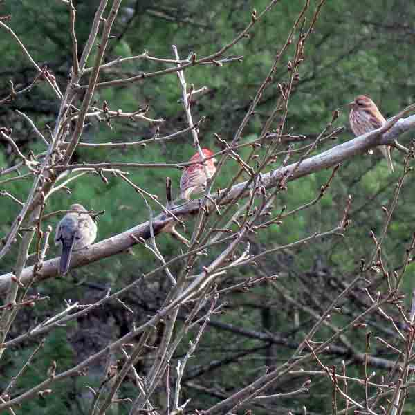 The Song Sparrow to the right looks too red and the Dark-eyed Junco looks too light but it was just the afternoon lighting angle.
