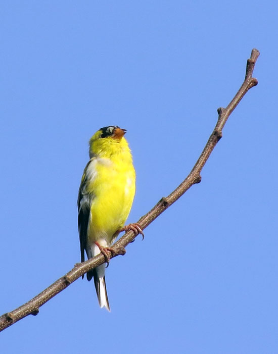 This American Goldfinch was singing away, high up on a bare tree, as I walked by.