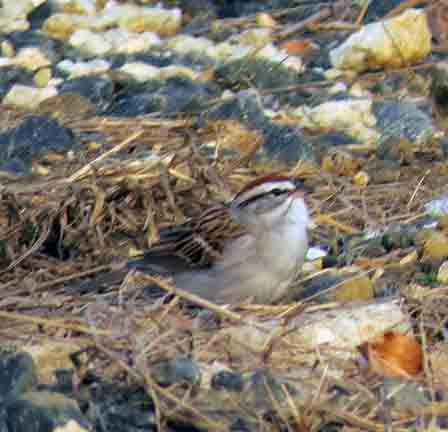 My FOY Chipping Sparrow greeted me as I walked in the access road.