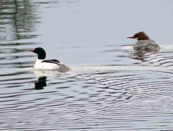 The first birds we saw on the water were these Common Mergansers.