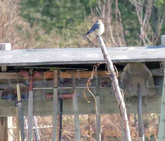 Meanwhile, Mrs Bluebird was watching it all far away in the community garden.