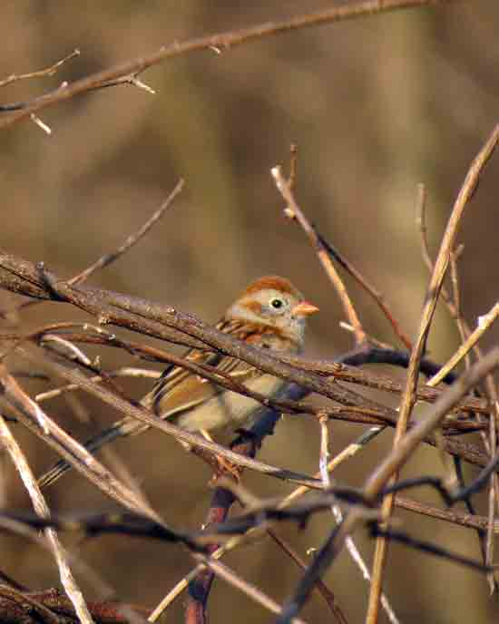 A Field Sparrow was trilling away, partially hidden in some brush.  I pished it and got it to climb a little higher.