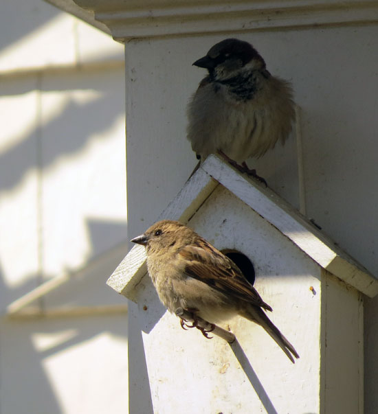 Just as common are House Sparrows which seem to monopolize the area bird houses.  Since they are relatively sparse up my way, they are fun to watch.