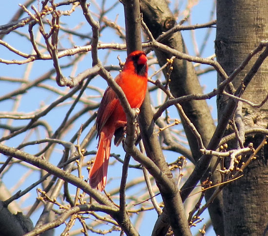 Northern Cardinals are also everywhere, singing away.  A morning walk is just filled with Cardinal music.