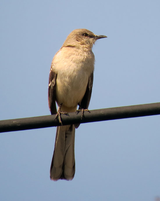 Northern Mockingbirds, while pretty rare in our county, are all over the place -- showing off their repertoire of songs and calls -- delightful to listen to and to observe.