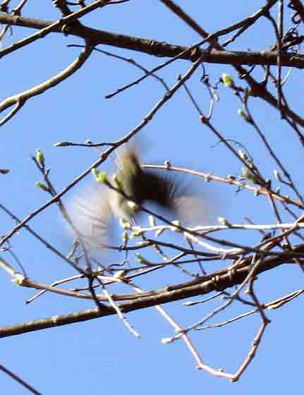 A Ruby-crowned Kinglet comes in for a landing.